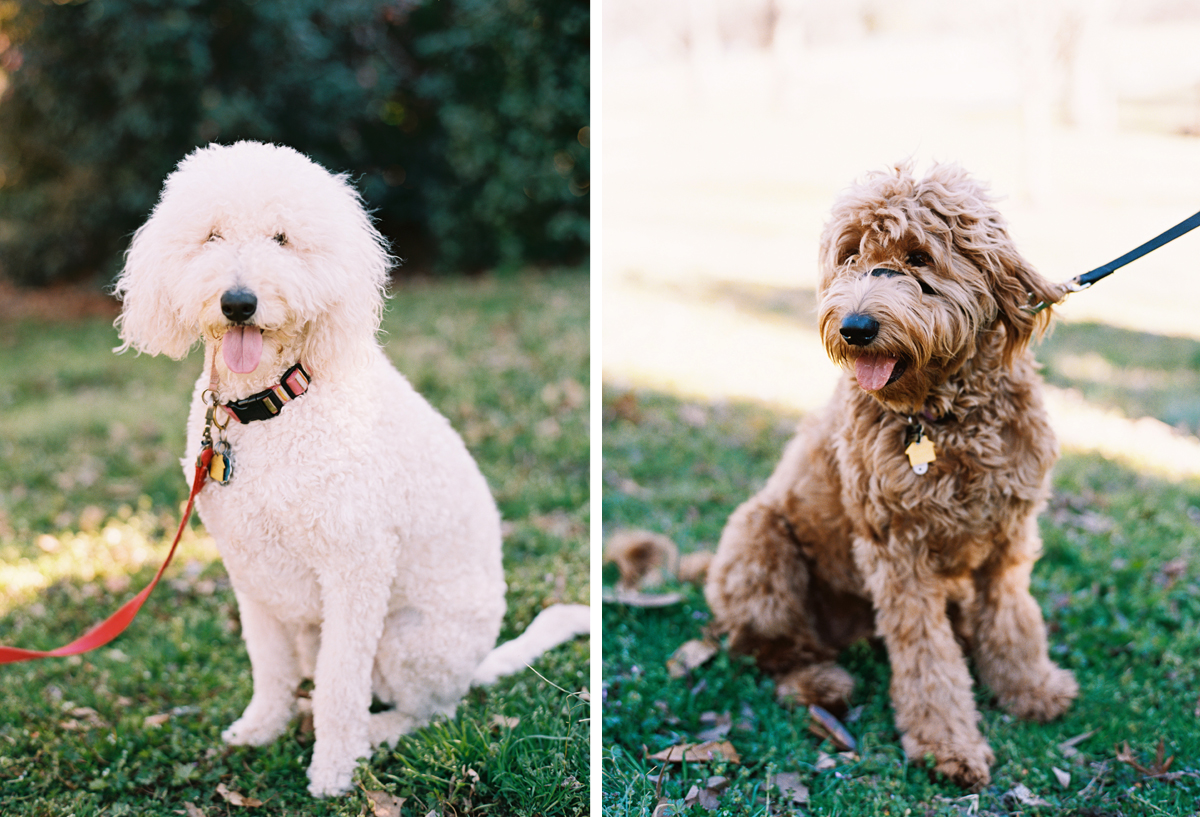 labradoodle-engagement-session